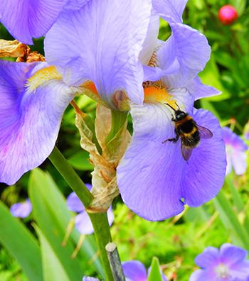 iris-bee